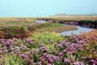 Lamsoor - Heerlijke Zeegroente